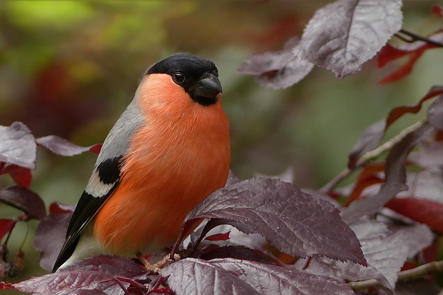 bullfinch-818188_640